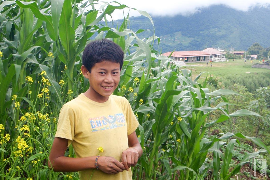 Hohe Maispflanzen